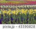 チューリップ 花 お花の写真 43390828