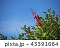 亜米利加梯梧 マメ科 海紅豆の写真 43391664