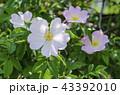 バラ 薔薇 バラ科の写真 43392010