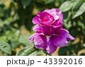 バラ 薔薇 バラ科の写真 43392016