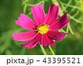 花 コスモス 桃色の写真 43395521
