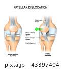膝蓋骨 脛骨 膝のイラスト 43397404