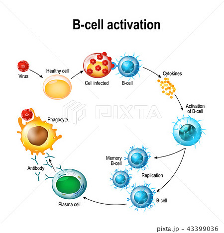 Activation of B-cell leukocytes 43399036