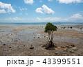 マングローブ 石垣島 干潟の写真 43399551