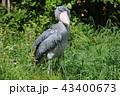 ハシビロコウ ペリカン目 目つき 眼力 眼光 捕獲者 43400673
