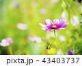 コスモス 花 ピンク色の写真 43403737