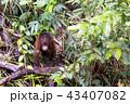 野生の子供オランウータン 43407082