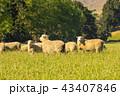 ひつじ ヒツジ 羊の写真 43407846