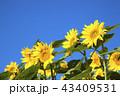ひまわり 晴天 青空の写真 43409531