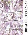 藤 43412057