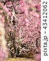 梅の花 43412062