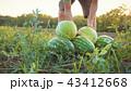 すいか スイカ 西瓜の写真 43412668