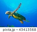 ウミガメ 43413568