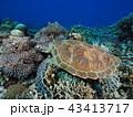 ウミガメ 43413717