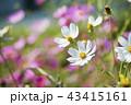 コスモス 花 白色の写真 43415161