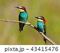 鳥 ハチクイ 小枝の写真 43415476