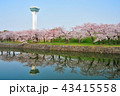 五稜郭と満開の桜の花 43415558