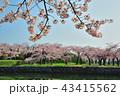 五稜郭と満開の桜の花 43415562