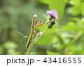 オオカマキリ 43416555