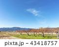 秋の味覚がたわわに実る福島県伊達郡国見町広域農道の柿畑が秋晴れの空に冴えわたる 43418757