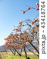 秋の味覚がたわわに実る福島県伊達郡国見町広域農道の柿畑が秋晴れの空に冴えわたる 43418764