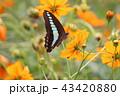 コスモス キバナコスモス 花の写真 43420880