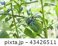 【ゴマダラカミキリ】 43426511