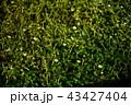 ミシマバイカモ 水辺 花の写真 43427404