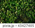 ミシマバイカモ 水辺 花の写真 43427405