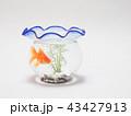 金魚鉢で泳ぐ琉金 43427913
