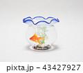 金魚鉢で泳ぐ琉金 43427927