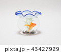 金魚鉢で泳ぐ琉金 43427929