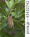 みの虫 ミノガ 蛾の写真 43432742