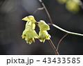 トサミズキ(土佐水木) 43433585