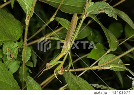 オオカマキリ成虫のオス、真夏の昆虫 43433674
