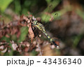 シオカラトンボ 昆虫 トンボ目の写真 43436340