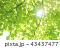 新緑 葉 青葉の写真 43437477