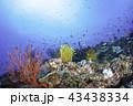 珊瑚 海 海中の写真 43438334