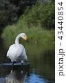 白鳥 水鳥 ウトナイ湖の写真 43440854