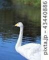 白鳥 水鳥 ウトナイ湖の写真 43440886