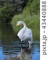 白鳥 水鳥 ウトナイ湖の写真 43440888