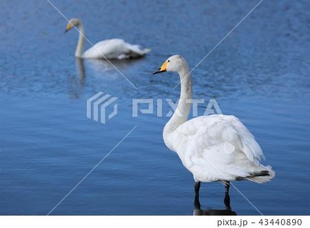 白鳥(北海道・ウトナイ湖) 43440890