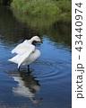 白鳥 水鳥 ウトナイ湖の写真 43440974