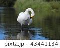 白鳥 水鳥 ウトナイ湖の写真 43441134