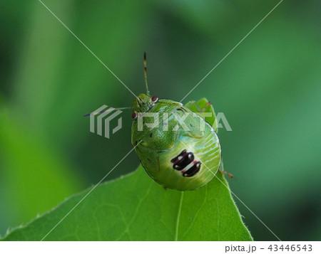 チャバネアオカメムシの幼虫 43446543
