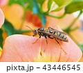 セグロアシナガバチ 43446545