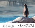 ペンギン 動物 東武動物公園の写真 43447178