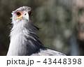 鳥類 蛇食鷲 鳥の写真 43448398