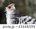 鳥類 蛇食鷲 鳥の写真 43448399