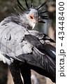 鳥類 蛇食鷲 動物の写真 43448400